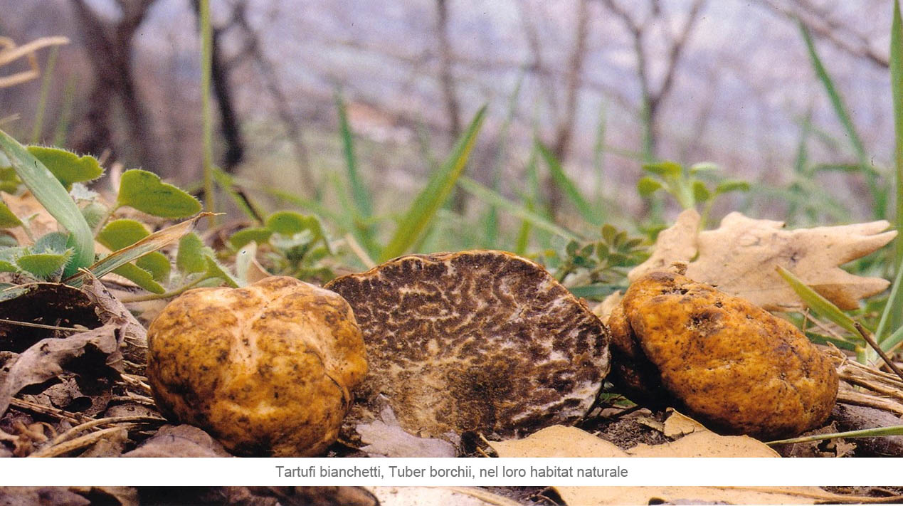 Tartufi bianchetti, Tuber borchii, nel loro habitat naturale